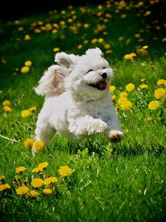 live life to the full. Cute Images, Cute Photos, Dandelion Wish, Havanese, Little Dogs, Live Life, Puppy Love, Make Me Smile, Cute Dogs