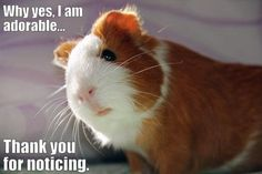 This piggy is fully aware of his cuteness and all the power that comes with it...:-).