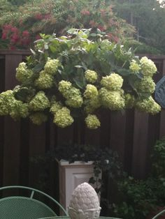 1000 images about limelight hydrangea tree on pinterest limelight hydrangea hydrangea tree - Nature curiosity stressed out plants emit animal like signals ...