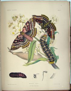 Images from 'Australian Lepidoptera and their Transformations' by AW Scott, with illustrations by his daughters, Harriet and Helena (2nd half of 19th century).
