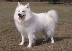 American Dog Breeds Do you love me?
