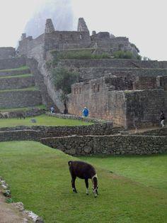 Grazing Llama, Machu Pichu, Peru
