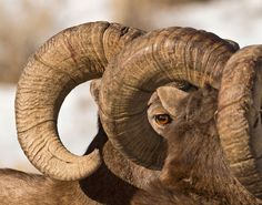 Bighorn sheep in the North Fork Canyon outside Cody, Wyoming, by Dawn Wilson.
