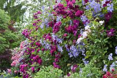 Wonderful ramblers and climbers. 'Geschwinds Schönste' , an old cultivar.  The blue clematis is 'Prince Charles'.