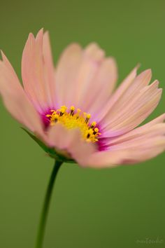COSMOS FLOWER MACRO PHOTOGRAPHY