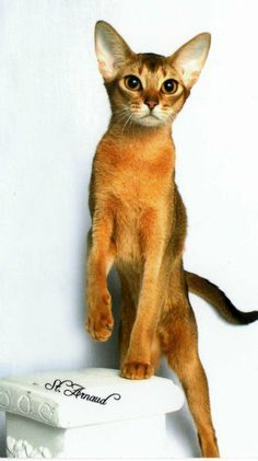 Abyssinian cats ginger