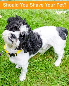 Now that summer's here, should you shave your pet? The answer might surprise you: pretty much a no Pet Care Tips, Pet Tips, Pet Clinic, All About Animals, Dog Behavior, Training Your Dog, Dog Owners, I Love Dogs, Best Dogs