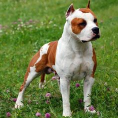 Uplifting So You Want A American Pit Bull Terrier Ideas. Fabulous So You Want A American Pit Bull Terrier Ideas. Amstaff Terrier, Bull Terrier Dog, American Bully, American Pit, Big Dogs, Dogs And Puppies, Dogs 101, Doggies, American Staffordshire