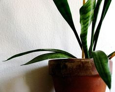 Trendy Pflanzen Indoor Low Light Luftreiniger Sansevieria Trifasciata 25 Ideen Trendy Plants In Sansevieria Trifasciata, Plantas Indoor, Indoor Plants Low Light, Mother In Law Tongue, Bathroom Plants, Bathroom Ideas, Foliage Plants, Air Plants, Snake Plant