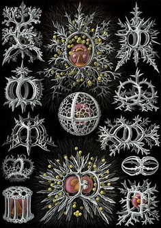 Ernst Haeckel's ''Kunstformen der Natur'' (1904), showing Radiolarians of the order Stephoidea. From Wikimedia Commons.