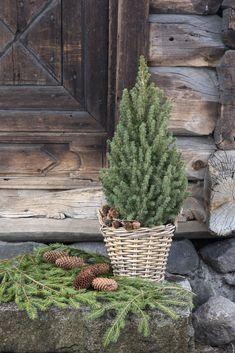 Vintergrønne planter