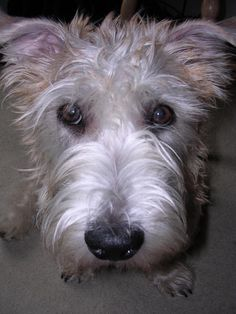 dog-breeds - G - Glen of Imaal Terrier - Page 7 Cute Puppies, Cute Dogs, Wheaten Terrier, Terriers, Cute Puppy Photos, Unusual Dog Breeds, Glen Of Imaal Terrier, Scottish Terrier, Dogs Of The World