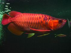 Super Red Asian Arowana (aka Dragon Fish) - only found in the upper part of the Kapuas River and nearby lakes in western Borneo, Indonesia.