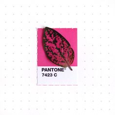 TINY PMS Match Pantone 7423 color match. A leaf from my Pink Polka Dot plant. Dashing, isn't it?