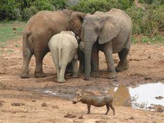 Gorah Elephants and Warthog, Eastern Cape Game Reserves