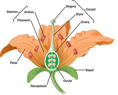 Simple Flower Diagram | Kingdom Plantae Notes Flower Structure Lab Water Movement in Plants ...
