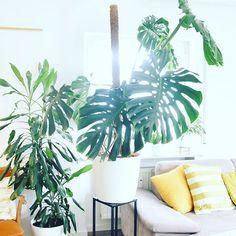 Es ist vollbracht 🤩 die Riesen-Monstera steht wieder aufrecht und in voller Pracht im Wohnzimmer. Wischt man rüber, um ihren Vorher-Zustand zu sehen. Wischt zweimal rüber, um zu sehen, warum sie so in den Seilen hing 🙈 habs wohl etwas schleifen lassen, mit der Umtopferei. Wie ihr so große Pflanzen umtopft und was meine bewährten Monstera-Gadgets sind, hab ich mal auf den Blog gepackt 💁🏼♀️ Noch was anderes für alle crazy Plantladys: in der Story hab ich zwei Templates veröffentlicht… Plant Leaves, About Me Blog, Gadgets, Home Furniture, Plants, Large Plants, Apartment Plants, Old Bicycle, Gadget
