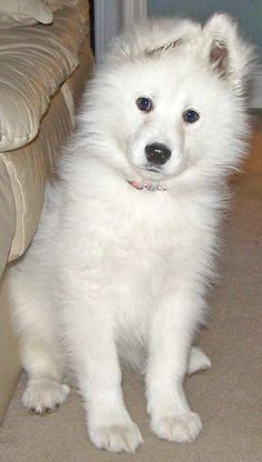 samoyed dog photo | Samoyed Dog Breed Photos | Dog Pictures Online