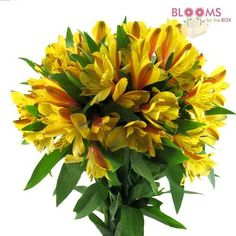 Wholesale Alstroemeria Yellow - Peruvian Lily, Lily of the Incas, Alstromeria - Blooms by the Box