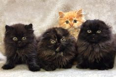 Who are they??? And why do two of them not have ears? Two Persians and two Scottish Folds!
