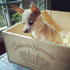 chihuahua. wine box.