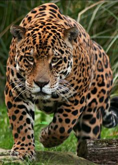 Only Primal Astrology has your TRUE zodiac sign, animal spirit guide, past lives, and more! Nature Animals, Animals And Pets, Cute Animals, Beautiful Cats, Animals Beautiful, Jaguar Leopard, Jaguar Animal, Majestic Animals, Animal Totems