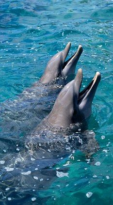 When it comes to intelligence, social behavior and communications, some researchers say dolphins come as close to humans as our ape and monkey cousins.