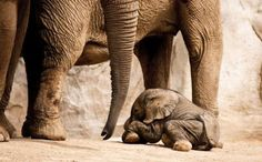 Little elefante, everything will be all right. All About Elephants, Elephants Never Forget, Save The Elephants, Newborn Elephant, Elephant Love, Elephant Family, Cute Baby Animals, Animals And Pets, Wild Animals