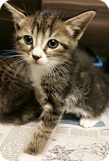 Calhoun, GA - Domestic Shorthair. Meet 2676, a kitten for adoption. http://www.adoptapet.com/pet/13142595-calhoun-georgia-kitten