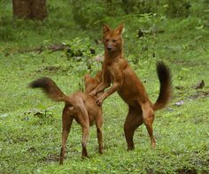 Dhole  The dhole (Cuon alpinus) of Asia is a dog of the Caninae family and Canini tribe, but has its own genus. You would recognize this creature as a dog, but it has more teats and fewer teeth than Canis, and whistles more than it barks or howls. They live in the forests and steppes of Russia, the Himalayas, and even as far south as Java. The biggest number of these endangered dogs live in India. Photograph by Flickr user Amit Kotwal.