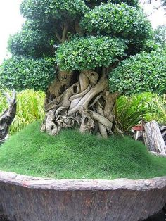 """In bonsai growing, the slanting style is one of several styles that are used to shape and """"train"""" the bonsai tree. Weird Trees, Plantas Bonsai, Unique Trees, Trees Beautiful, Old Trees, Tree Trunks, Bonsai Garden, Nature Tree, Nature Nature"""