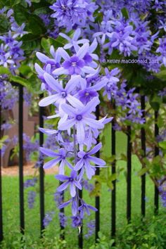 View picture of Queen's Wreath Bluebird Vine Sandpaper Vine (Petrea volubilis) a. View picture of Queen's Wreath Bluebird Vine Sandpaper Vine (Petrea volubilis) at Dave's Garden Garden Shrubs, Garden Plants, Purple Flowers, Beautiful Flowers, Exotic Flowers, Yellow Roses, Pink Roses, Simply Beautiful, Volubilis