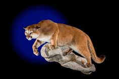 Mountain Lion Mount by Northeast Taxidermy Studios. #taxidermy #mounts #hunting