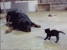 A kitten which is not passivein front of a dog