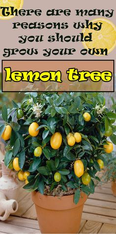 Grow Your Own Lemon Tree From Seed - Women Daily Magazine Growing Vegetables, Fruits And Veggies, Honey And Mustard Salad, Lemon Tree From Seed, Growing Fruit Trees, Food Facts, Natural Remedies, Healthy Life, Tips