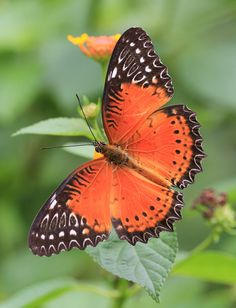 Red Lacewing - Winged Beauty!