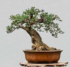 Wild olive bonsai, Olea europea sylvatica, collected in Croatia in 2009.