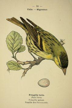 Atlas de poche des oiseaux de France, Suisse, et Belgique, utiles ou nuisibles ser.2 Paris :Librairie des sciences naturelles P. Klincksieck,1898-