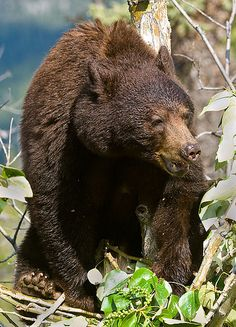 Black Bear Sow, via Flickr.