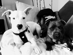Phoenix American staffy and Storm English Staffy. New foster girl.#rescue #adoptme #adoptdontshop #staffy #bully