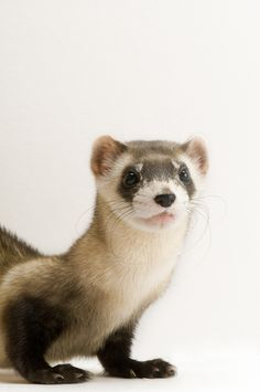 Joel Sartore - American Black Footed Ferret, undated. Color print on dibond from digital image. Courtesy of National Geographic Society and ART in Embassies, Washington, D.C. Learn more about why Ambassador Berry included this piece in the @ArtsInEmbassies collection: http://youtu.be/shjJhtPm0DY #Art #Conservation