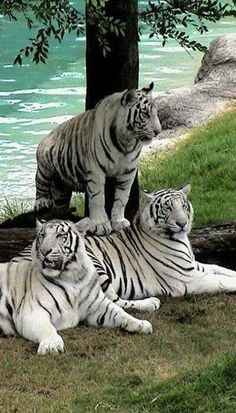 Image IMG 4682 in Wild cats album Pretty Cats, Beautiful Cats, Animals Beautiful, Beautiful Family, Beautiful Babies, Big Cats, Cool Cats, Cats And Kittens, Nature Animals