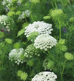 Ammi visnaga 'White' is a slightly chunkier form of ammi with dense yet delicate white and green domed flowers, which make one of the best garden plants and filler foliage plants you can grow.
