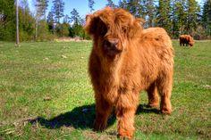 Highland calf or... Fluffy cow! LOL
