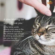 Tabby Cats Facts A sow blinking cat is saying 'i Love You'. Find how to help your cat live longer and healthier with the help of natural blends from NHV. Cat Vet, Dog Cat, Crazy Cat Lady, Crazy Cats, I Love Cats, Cool Cats, Cat Behavior, Cat Quotes, Cat Facts