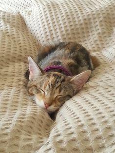 Casiel (Cas) Cat | Pawshake New plymouth