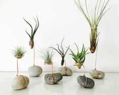 Air plant, tillandsia, support tillandsia, support air plant, galet, terrarium Plant Crafts, Plant Projects, Plant Design, Cactus Flower, Flower Bookey, Flower Film, Flower Names, Flower Pots, Potted Plants