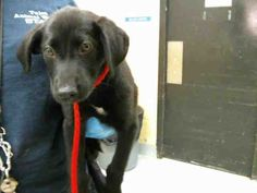 SABRINA Labrador Retriever Mix • Baby • Female • Small Tulsa Animal Welfare Tulsa, OK