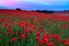 Poppy Field by richjjones, via Flickr