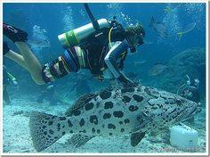 Praticar mergulho na Austrália é o sonho de todos que já tiveram a chance de conhecer o universo submarino. Great Barrier Reef, é a maior e mais famosa barreira de corais do mundo, um atrativo para quem está viajando pela Austrália. Ter a chance de mergulhar nesses corais cheios de vida marinha e conhecer vários pontos de mergulho, é para poucos, pois os preços são salgados. Claro que é possível mergulhar nos recifes mais próximos de Cairns durante um dia de mergulho, mas as viagens…